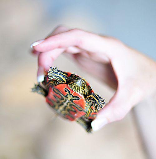Orange turtle 2