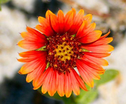 Orange flower FLA
